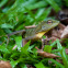 Lizard from Gunung Gading